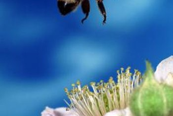 Honeybees carry pollen from one flower to another.