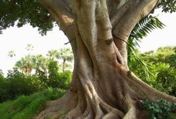 In nature, ficus roots grow vigorously, resulting in large aerial systems.