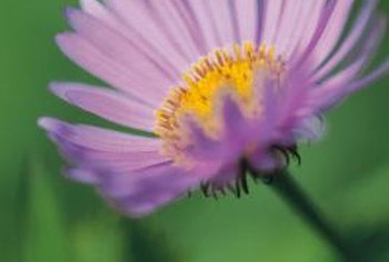 Perennial asters vary in color from lilac to pink.