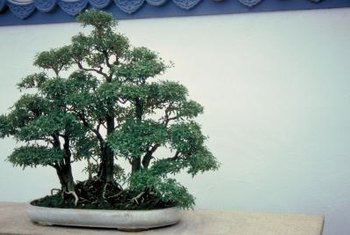 Bonsai trees have different soil needs than trees in the ground.