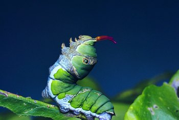 Remove green caterpillars from your garden before they do any damage.