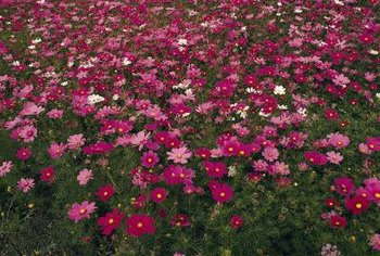 Cosmos looks its best when grown in dense masses.