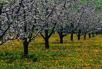 Well-spaced fruit trees will remain healthy and reach their fruiting potential.
