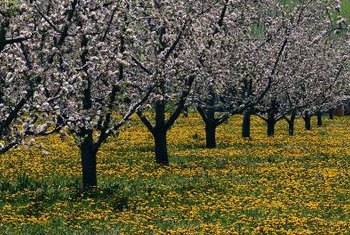 Apple trees with flowering spurs are typically smaller than standard varieties.