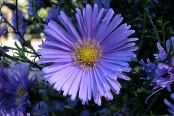 Asters come in a wide range of hues but usually have yellow centers.