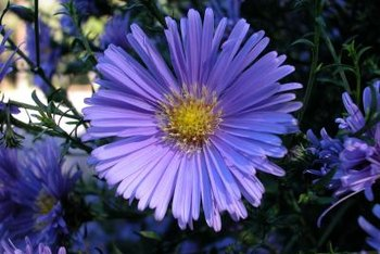 Asters fill the summer with daisy-like flowers available in different colors.