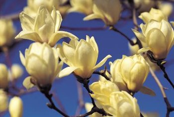 Sweet bay magnolia grows quickly and features beautiful flowers.