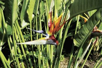 Remove the flowers from bird-of-paradise for use in cut floral arrangements.