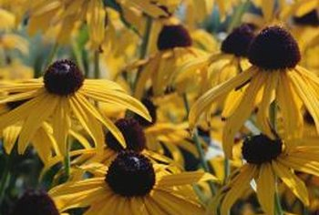 Coneflowers may turn black if conditions are too wet.