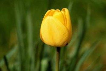 Holland Exports Over 2 Billion Tulip Bulbs Each Year