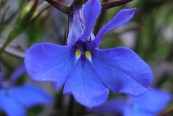 Lobelia grows well in moist soils.