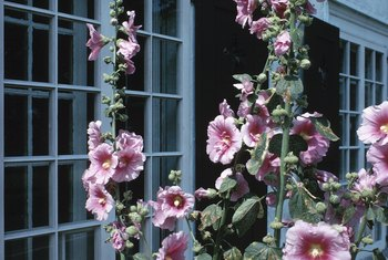Hollyhocks can grow higher than 5 feet tall.