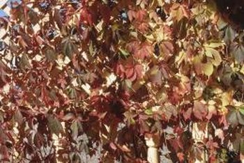 When fall comes, Virginia creeper's foliage transitions from muted green to purple.