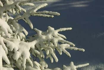 Colorado blue spruce planting instructions | garden guides.