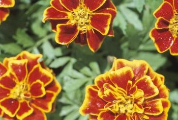 Marigolds can be started indoors or planted directly into the garden.