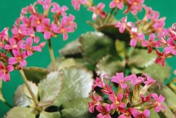Shiny leaves and abundant flowers indicate a healthy kalanchoe.