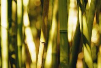 Mature bamboo plants produce seed heads.