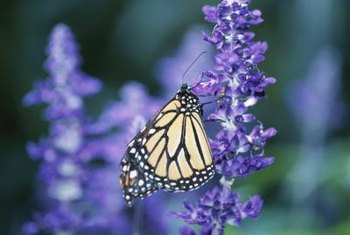 English lavender attracts butterflies to the garden.