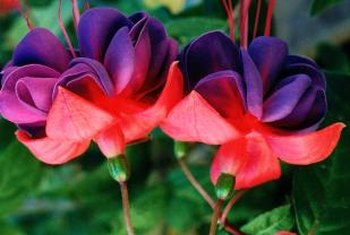 Dangling, brightly colored fuchsia flowers are impressive hanging over the edges of a pot.