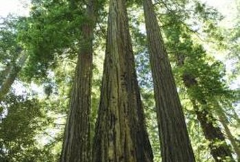 Redwoods are the tallest trees in the world.