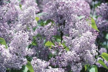 Common lilac varieties make attractive flowering hedges.