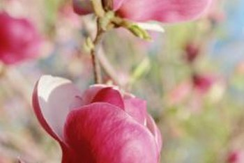 The large pink and while blossoms of the magnolia provide a focal point for the garden.
