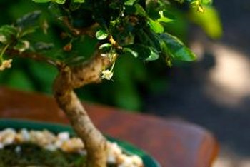 Displaying a bonsai tree correctly will only enhance its beauty.