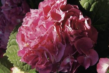 Hydrangeas often bloom large clusters of flowers.