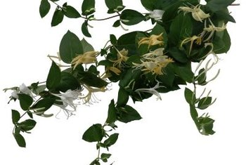 Pests target honeysuckle leaves for nourishment.