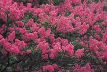 For brilliant color, choose a crape myrtle.