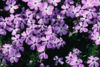 Phlox subulata is available in shades of pink, lavender, bluish-purple, white or red.