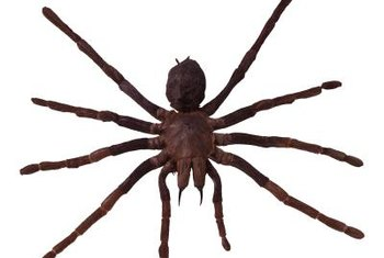 Like other spiders, wolf spiders have eight legs.
