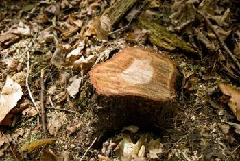 Stumps are easiest to dig up when the soil is moist from rain.
