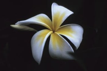 Repot frangipani into a bigger pot each spring ensures increased blooms and vigorous root growth.