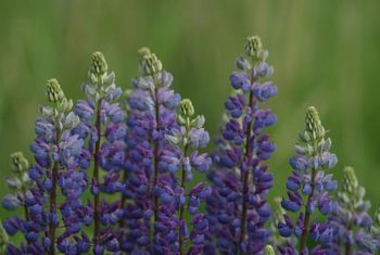 Lupines need neighboring plants that stand up for themselves.