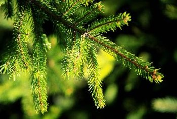 Grow Scotch, or Scots, pine in full sun in well-drained, acidic soil.