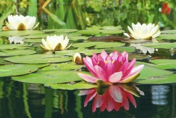 Aquatic plants such as lily pads may continue to spread until they have covered the pond surface.