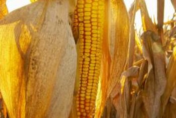 Corn is a significant biofuel ingredient.
