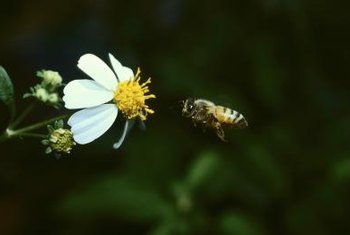 Honeybees are drawn to nectar and pollen.