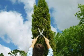 Cypress trees make an effective and natural fence for properties.