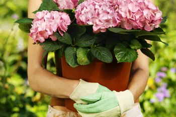 Begonias grow well in containers, both indoors and outdoors.
