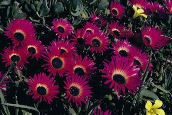 Hearts and flowers ice plant is heat tolerant.