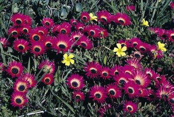 Ice plants are available in many bold colors.