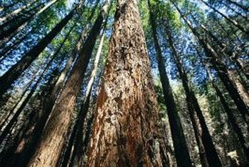 Redwoods groves produce their own moisture; single specimens need watering.
