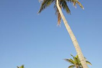 Many palm trees grow too tall to be kept indoors.