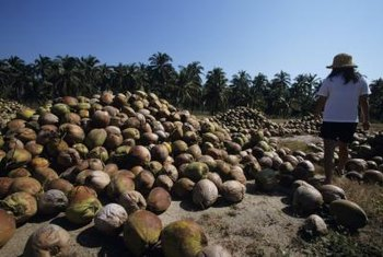 Coconut palms germinate readily from fresh coconuts.