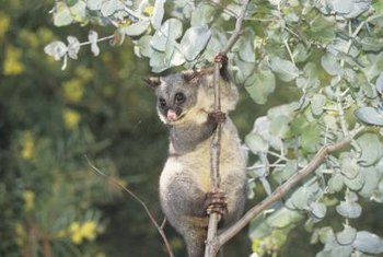 In their native habitat, eucalyptus trees are pruned naturally by koalas.