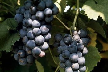 Proper cultivation of grapes is crucial to their storing potential post-harvest.