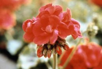 Geraniums are usually easy to grow, but wilting signals a problem.