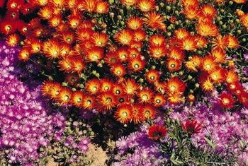 Ice plants make a low maintenance ground cover suitable for sloping areas.